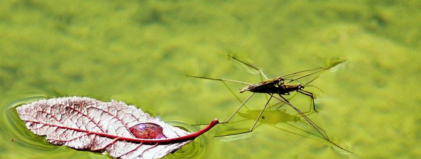 zanzara in acqua